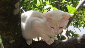 斯里兰卡的野生白色猫 免版税库存图片