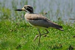从斯里兰卡的鸟 从亚洲的水禽 鸟在水中 伟大的厚实膝盖, Esacus recurvirostris,在水中 免版税图库摄影