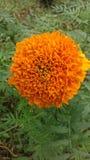 斯里兰卡的Daspethiya自然花 库存图片