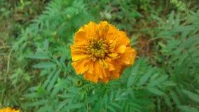 斯里兰卡的Daspethiya自然花 图库摄影