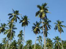 斯里兰卡的naturalphotos棕榈树  库存照片