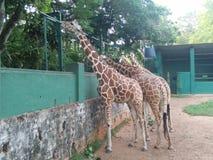 斯里兰卡美丽的动物照片长颈鹿  库存图片
