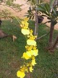 斯里兰卡美丽的花 免版税库存图片