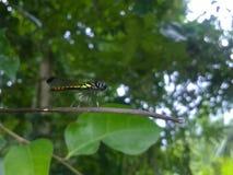 斯里兰卡美丽的蝴蝶 库存图片
