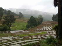 斯里兰卡背景的稻田 库存图片