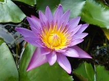 斯里兰卡自然照片美丽的蓝色百合花  免版税库存图片