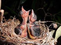 斯里兰卡自然鸟 免版税库存照片