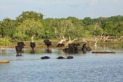 斯里兰卡野生母牛 免版税图库摄影
