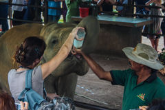 斯里兰卡, 2011年11月。Pinnawala大象Orphanag。 免版税库存照片