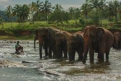 斯里兰卡, 2011年11月。Pinnawala大象Orphanag。 库存图片