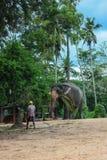 斯里兰卡, 2011年11月。Pinnawala大象Orphanag。 库存照片