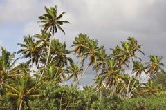 斯里兰卡:在海滩的棕榈树 免版税库存图片