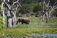 斯里兰卡:大象在Yala 免版税库存照片