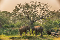 斯里兰卡:狂放的大象在密林, Yala国家公园 库存照片