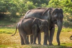 斯里兰卡:狂放的大象在密林, Yala国家公园 图库摄影