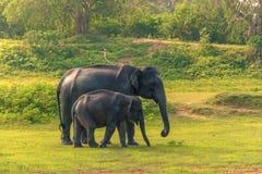 斯里兰卡:狂放的大象在密林, Yala国家公园 免版税库存图片