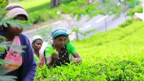 斯里兰卡- 2012年3月:工作者采摘茶 股票视频