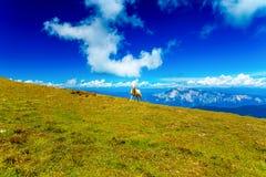 斯洛文尼亚人的山高山牧场地 在山的绵羊 图库摄影