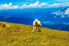 斯洛文尼亚人的山高山牧场地 在山的绵羊 库存照片
