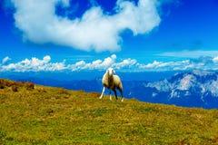 斯洛文尼亚人的山高山牧场地 在山的绵羊 免版税图库摄影