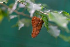 新仙女木与翼的iulia蝴蝶打开 图库摄影