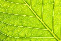 新八仙花属叶子静脉纹理背景#2 免版税库存图片