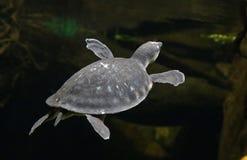 新几内亚的猪被引导的乌龟 库存照片