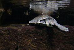 新几内亚的猪被引导的乌龟 库存图片