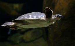 新几内亚的猪被引导的乌龟 图库摄影