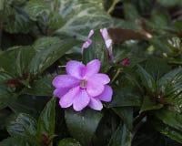 新几内亚Impatiens Sunstanding淡紫色,达拉斯树木园 免版税库存图片