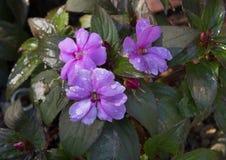 新几内亚Impatiens Sunstanding淡紫色,达拉斯树木园 库存照片