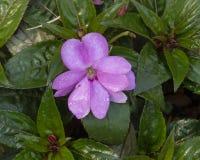 新几内亚Impatiens Sunstanding淡紫色,达拉斯树木园 图库摄影