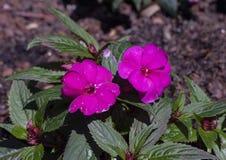 新几内亚Impatiens Sunstanding紫色,达拉斯树木园 免版税库存照片