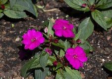 新几内亚Impatiens Sunstanding紫色,达拉斯树木园 库存照片