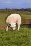 新出生吃草的羊羔 免版税库存照片
