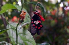 新出生在柠檬树的蝴蝶 库存图片