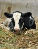 新出生小牛的干草 免版税库存图片