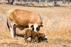 新出生小牛的母牛 免版税库存照片