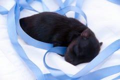新出生的一条狗约克夏 库存照片