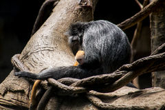 新出生的乌木叶猴和母亲 图库摄影