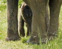 新出生的亚洲大象 库存图片