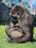 新出生的大猩猩 免版税库存图片