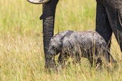 新出生的大象小牛 免版税库存图片