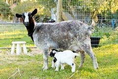 新出生的婴孩孩子微型山羊和护理母鹿在象草的paddoc 库存图片
