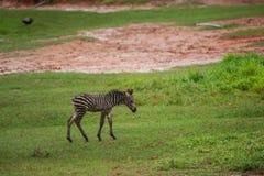 新出生的小斑马 免版税库存图片