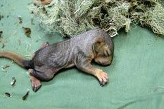 新出生的小灰鼠 免版税库存图片