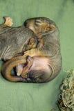 新出生的小灰鼠 免版税库存照片