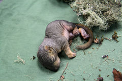 新出生的小灰鼠 图库摄影