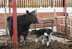 新出生的小牛和母牛 免版税库存照片