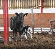 新出生的小牛和母牛 免版税图库摄影